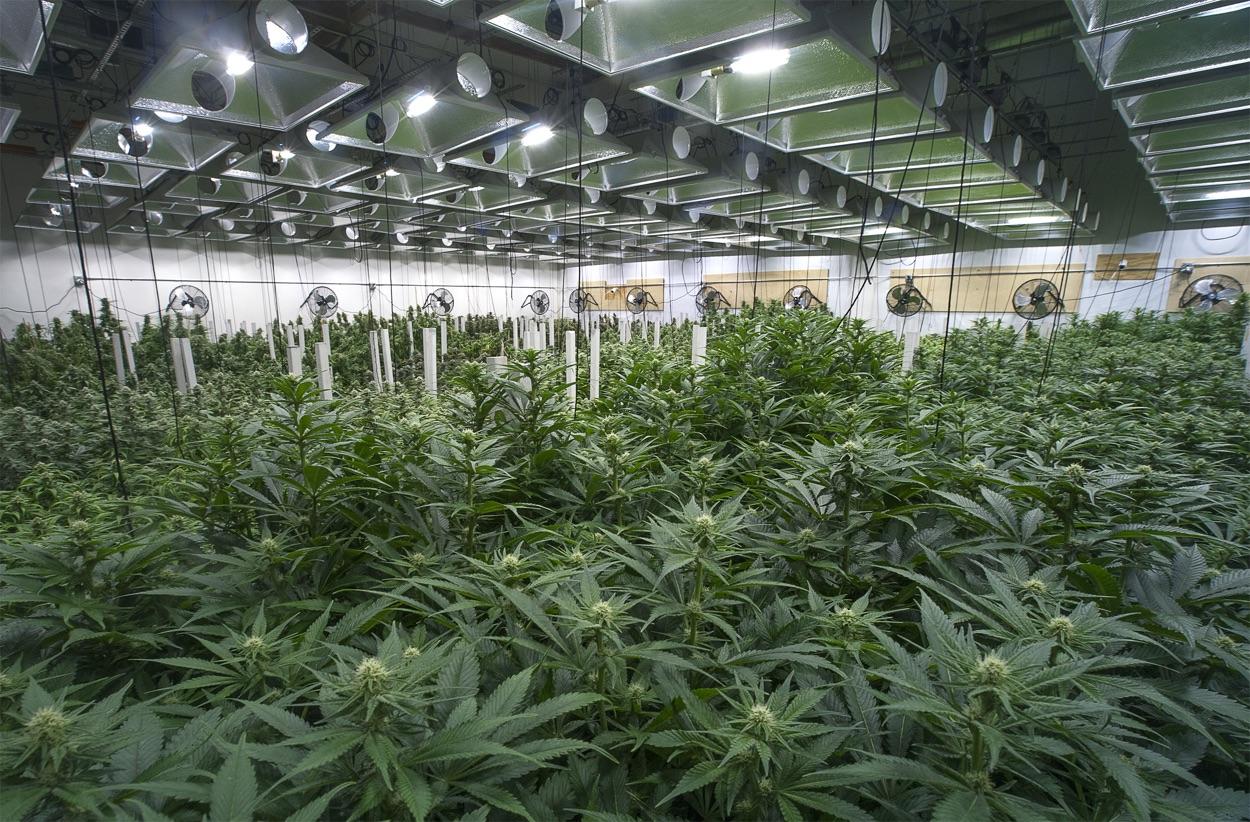 Cannabliss-Cannabis-medicial-marajuana-cannabidiol